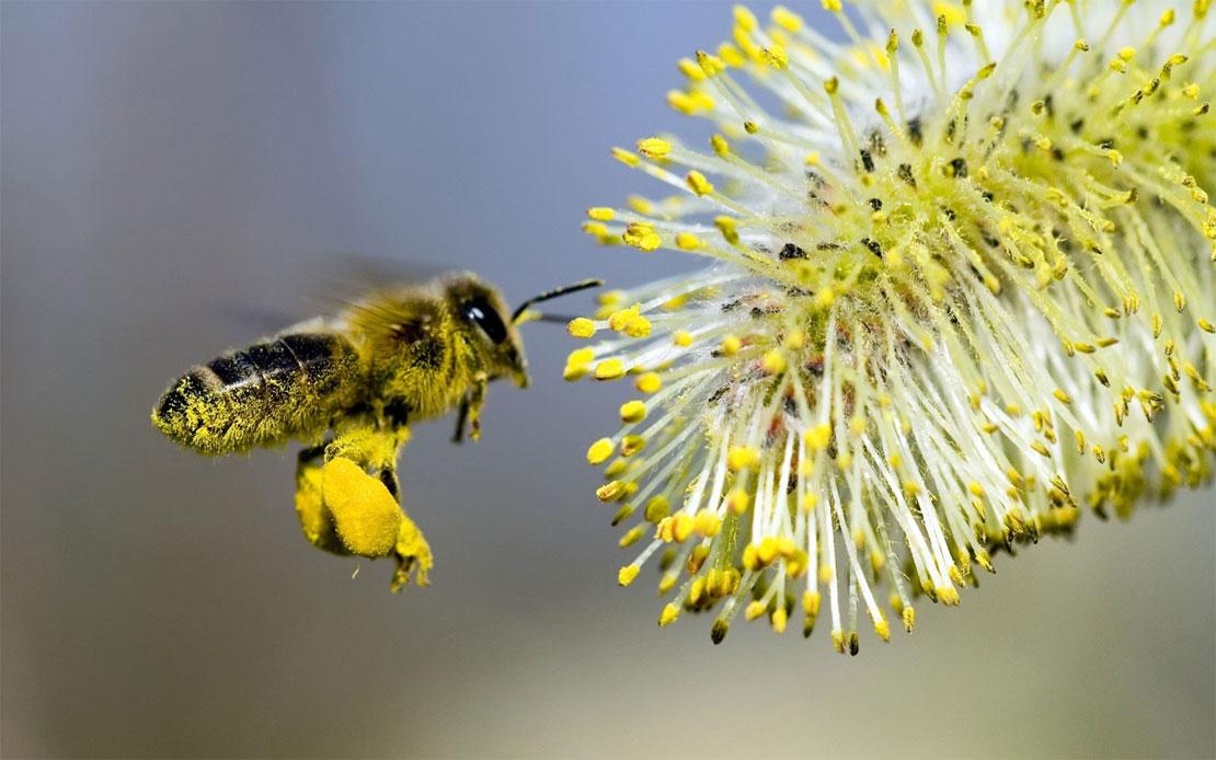 о пчелиной пыльце